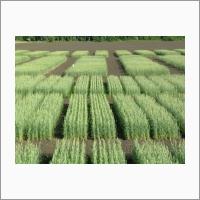 Опытные посевы лаборатории селекции мягкой яровой пшеницы ФГБНУ «СибНИИСХ».
