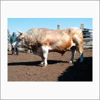 Бык типа Баганский мясной симментальской породы (Сибирский научно-исследовательский и проектно-технологический институт животноводства)