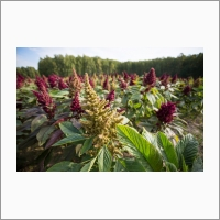 The institute's people improving existing crops and proposing new ones. One of the new ones is amaranth.