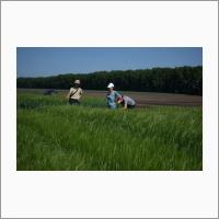 Сотрудники СибНИИРС осматривают экспериментальные посевы ячменя