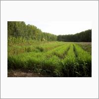 Еще одна перспективная с/х – культура, подготовленная для внедрения в отечественный аграрный сектор силами ФИЦ ИЦИГ СО РАН – мискантус