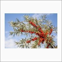 Sea buckthorn cultivars developed at the Institute are known and in demand