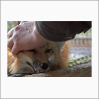 The legacy of Dmitry Belyaev's domestication experiment at the Institute: the one-of-a-kind population of tame foxes