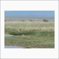 Колпица. Пресноводный пойменный водоём озера Шара-Нур