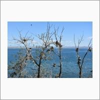 Популяции большого баклана в березово-тополевом лесу в ур. Шарлаан