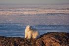 Белый медведь. Якутия