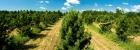 Лесосеменные плантации кедра сибирского  в Елбашинском питомнике АО «Бердский лесхоз»