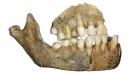 Челюсть неандертальца. Фото www.sciencenews.org