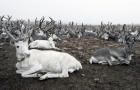 Северные олени. Якутия. Фото П. Оконешникова