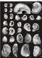 Ископаемые устрицы