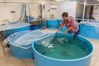 Работа по ускоренной селекции байкальских сиговых рыб, ЛИН СО РАН