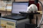 Бетамид прошел тестирование на лабораторных животных. На фото — крыса на специальном кардиографе. Фото Ю. Поздняковой