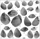 Двустворчатые моллюски (Buchia) рязанского региояруса, найденные сотрудниками ИНГГ СО РАН
