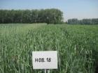 Пшеница мягкая яровая Новосибирская 18.