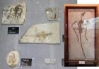 Образцы ископаемой фауны - биота Джехол