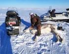 Установление спутникового ошейника на дикого северного оленя, Якутия