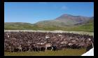 Чипирование северных оленей, Ямал