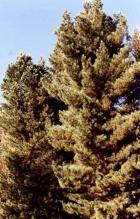 Кедр сибирский - Pinus sibirica, фото Института леса им. В.Н. Сукачева ФИЦ КНЦ СО РАН