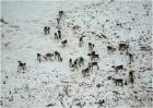 Тундровые дикие северные олени