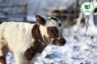 Теленок якутской породы коров