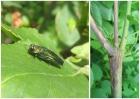 Слева: жук ясеневой узкотелой златки во время питания на листьях ясеня. Справа: побеги ясеня европейского, пораженные грибом-халарой. Фото: Юрий Баранчиков.